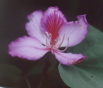 Picture of Bauhinia variegata