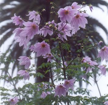 Picture of Dahlia imperialis