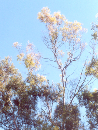 Picture of Eucalyptus camaldulensis