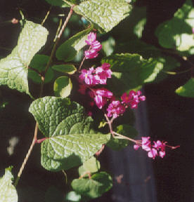 Picture of Antigonon leptopus