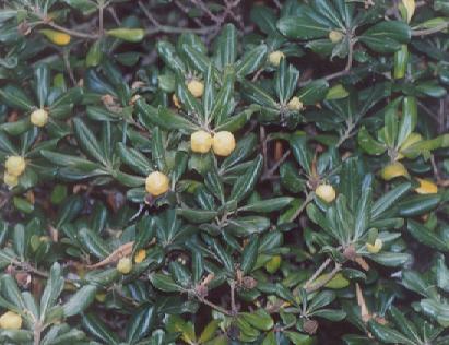 Picture of Pittosporum tobira