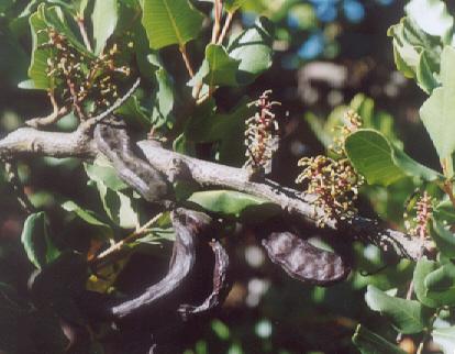 Picture of Ceratonia siliqua
