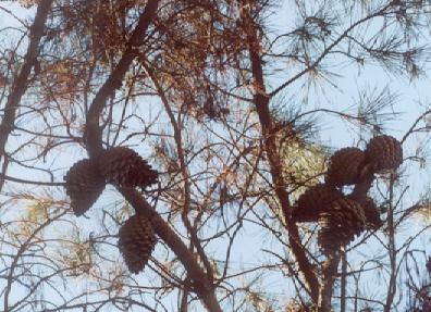 Picture of Pinus radiata