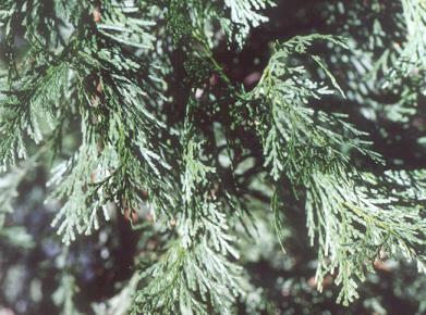 Picture of Calocedrus decurrens
