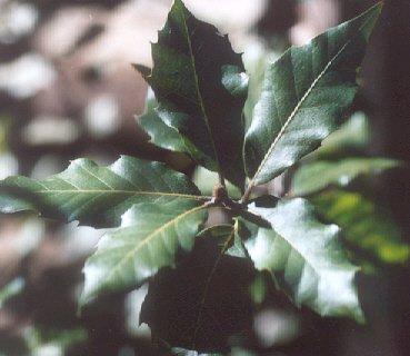 Picture of Quercus ilex