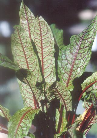 Picture of Rumex sanguineus ssp. sanguineus