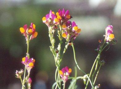 Picture of Linaria reticulata var. aureapurpurea