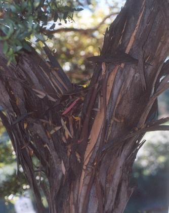 Picture of Eucalyptus lehmannii