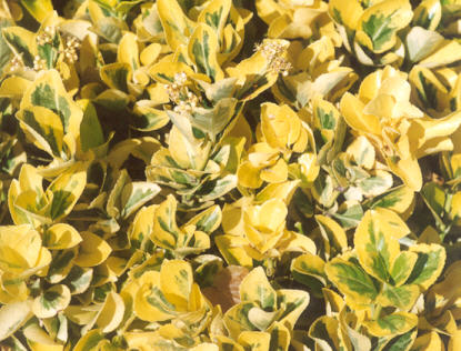 Picture of Euonymus fortunei
