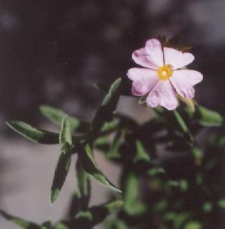 Picture of Cistus skandbergii