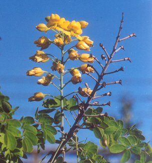 Picture of Laburnum anagyroides