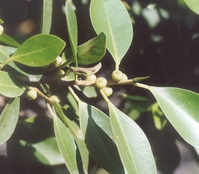 Picture of Ficus microcarpa