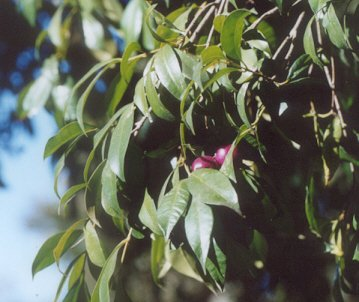 Picture of Waterhousea floribunda