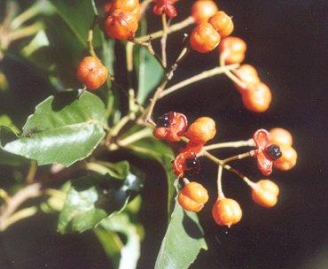 Picture of Pittosporum rhombifolum
