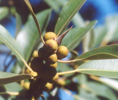 Picture of Ficus rubiginosa