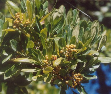 Picture of Pittosporum floribundum