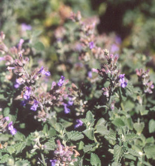 Picture of Nepeta x faassenii