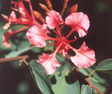 Picture of Bauhinia galpinii