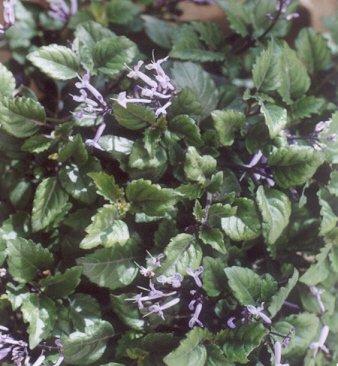 Picture of Plectranthus x 'mona lavender'