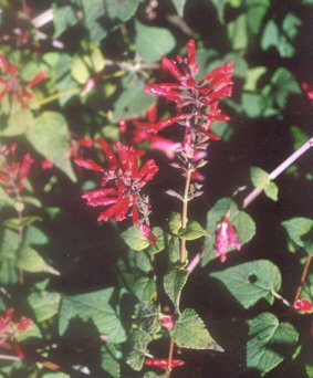 Picture of Salvia holwayi