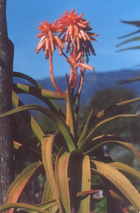 Picture of Aloe eminensis