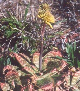 Picture of Aloe saponaria
