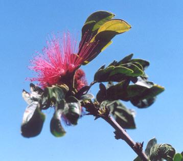 Picture of Calliandra tweedii