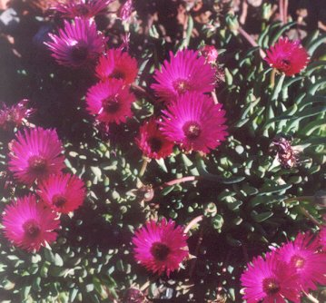 Picture of Lampranthus sp.
