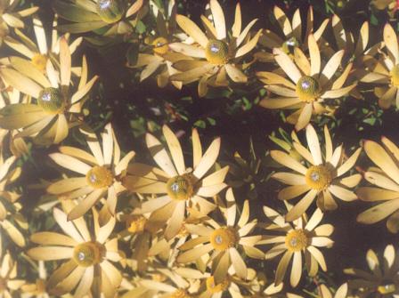 Picture of Leucadendron tinctum