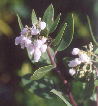 Picture of Arctostaphylos sp.