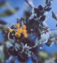 Picture of Acacia podalyriifolia