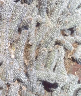 Picture of Stenocereus eruca