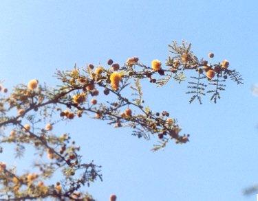 Picture of Acacia farnesiana