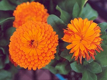 Picture of Calendula officinalis