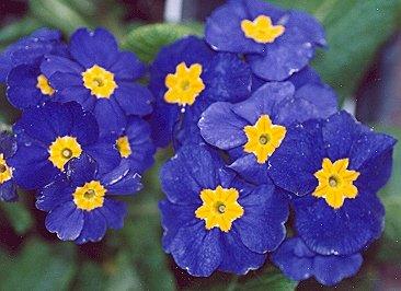Picture of Primula sp.