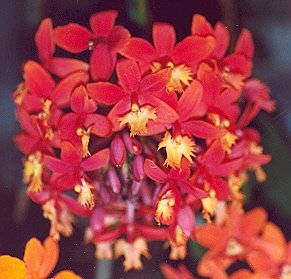 Picture of Epidendrum hybrida