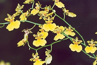Picture of Oncidium