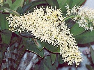 Picture of Dendrobium speciosum
