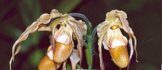 Picture of Phragmipedium caudata