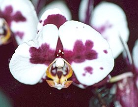 Picture of Phalaenopsis