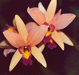 Picture of Laeliocattleya