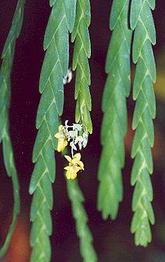 Picture of Lockhartia oestedii x acuta