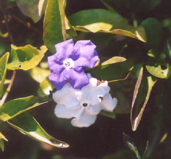 Picture of Brunfelsia pauciflora