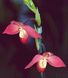 Picture of Phragmipedium