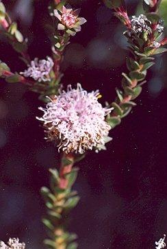Picture of Isopogum buxifolius