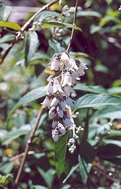 Picture of Deutzia ningpoensis
