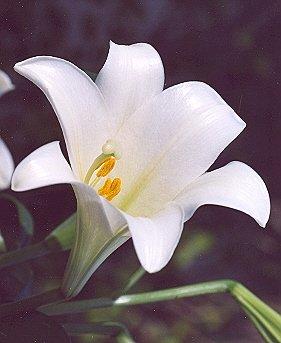 Picture of Lilium longiflorum
