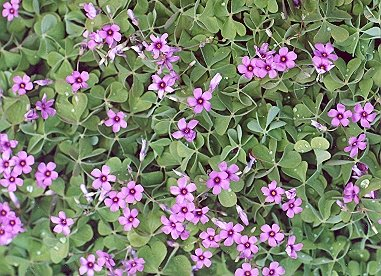 Picture of Oxalis rubra