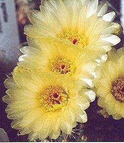 Picture of Notocactus agnetae