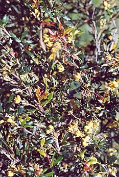 Picture of Berberis x stenophylla
